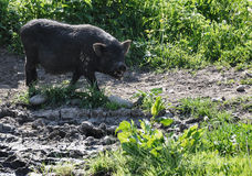 Wild varken Royalty-vrije Stock Foto's