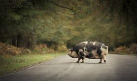 Wild varken die de weg kruisen Royalty-vrije Stock Afbeeldingen