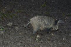 Wild varken op aarden milieu Stock Afbeelding