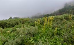 Wild vegetation in the fog in Altai Krai mountains. Wild vegetation in the fog in the Altai Krai mountains Stock Image