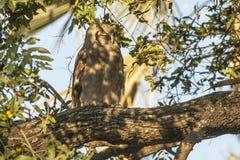 Wild Verraux's Eagle-Owl, Sleeping Stock Image