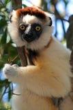 wild verreaux för lemurmadagascar s sifaka royaltyfria bilder