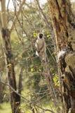 Wild vervet monkey Royalty Free Stock Images
