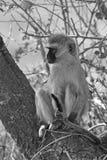 Wild vervet monkey Stock Images