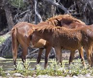 Wild veulen die zijn hoofd rusten op de flank van de merrie royalty-vrije stock foto's