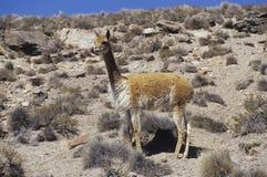 Wild vicuña Royalty Free Stock Image