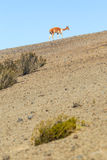 Wild Vicuna On Andean Desert Royalty Free Stock Image