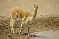 Wild vicuna Royalty Free Stock Image