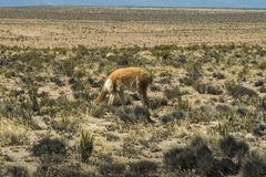 A wild vicunas is looking for something to eat in the wild of Peru. A wild vicunas is looking for something to eat in the wild of Peru royalty free stock photography