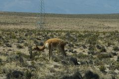 A wild vicunas is looking for something to eat in the wild of Peru. A wild vicunas is looking for something to eat in the wild of Peru stock image