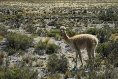 A wild vicunas is looking for something to eat in the wild of Peru. A wild vicunas is looking for something to eat in the wild of Peru stock images
