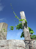Wild vine. At the old fence on the sky background Stock Photos