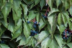 Wild vine in autumn Stock Photo