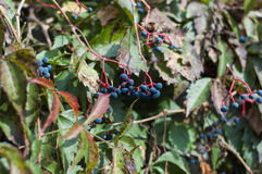 Wild vine in autumn Royalty Free Stock Photography