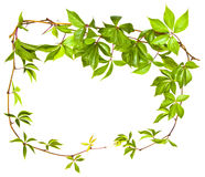 Wild Vine Branch Royalty Free Stock Images