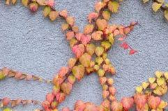 Wild vine branch on blue wall Stock Photo