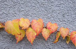 Wild vine branch on blue wall Stock Images