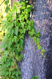 Wild vine leaves on tree trunk Stock Photos