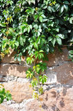 Wild vine leaves on wall Royalty Free Stock Image