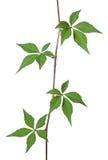 Wild vine mot vit bakgrund Fotografering för Bildbyråer