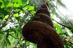 Wild Vine, Songkhla Thailand Fotografering för Bildbyråer