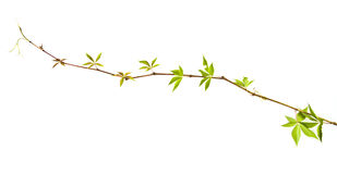 Wild vine twig Stock Images