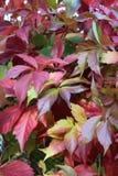 Wild vine (Parthenocissus) Royalty Free Stock Images