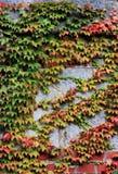 Wild vines Royalty Free Stock Image