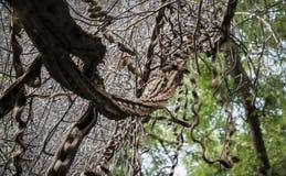 wild vines Arkivbilder