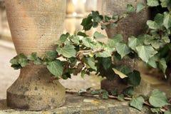 Wild vines climbing up the pillars Stock Photo
