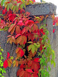 Wild vines leaves at an old wall Royalty Free Stock Images