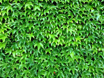 Wild vines leaves in summer Royalty Free Stock Image