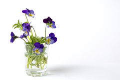 Wild viola flower in a glass vase. On white background Royalty Free Stock Photography