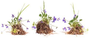 Wild viola flowers Stock Photos