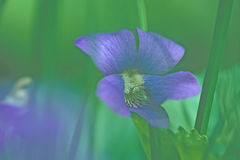 Wild violet. Blue wild violet Royalty Free Stock Photo