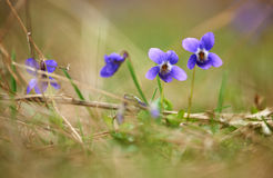 Wild violet blossoms Stock Image
