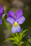 Wild violet close up Stock Images