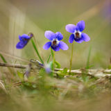 Wild violet flowers Royalty Free Stock Photo