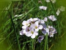Wild violet flowers blooms Stock Photo