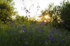 Wild violet flowers of Consolida Regalis. The flower field in beams of the setting sun Stock Photos