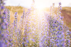 Wild violet flowers in a field at sunset. Royalty Free Stock Photos