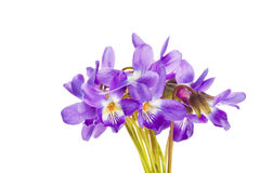 Wild violet flowers isolated on white background Stock Image