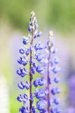 Wild violet flowers of lupine Royalty Free Stock Image