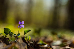 Wild Violet In Spring Stock Photography