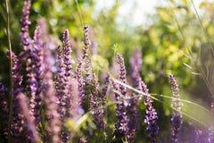 Wild violet lavender floral background Stock Photos