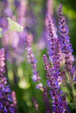 Wild violet lavender floral background Royalty Free Stock Photography