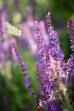 Wild violet lavender floral background Royalty Free Stock Photo
