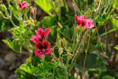 Wild violet mallow flowers in garden at sunset times. Outdoors Stock Photography