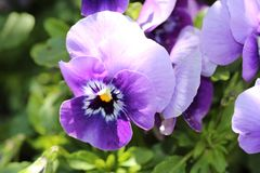 Wild violet Orchid stock photo