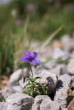 Wild violet Royalty Free Stock Image